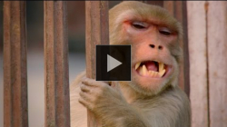 YouTube link to Monkey saves a life - World's Weirdest Events: Episode 1 Preview - BBC Two